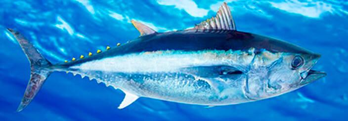 ¡Más pescado!, ahora… Azul